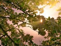 Τα άνθη της Apple στους κλάδους μήλων με πράσινο βγάζουν φύλλα με τον ήλιο και το φως του ήλιου στο υπόβαθρο Στοκ Εικόνες