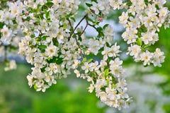Τα άνθη της Apple στους κλάδους μήλων με πράσινο βγάζουν φύλλα με το μπλε ουρανό στο υπόβαθρο Στοκ Φωτογραφίες