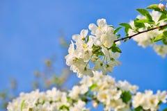 Τα άνθη της Apple στους κλάδους μήλων με πράσινο βγάζουν φύλλα με το μπλε ουρανό στο υπόβαθρο Στοκ Εικόνα