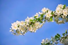 Τα άνθη της Apple στους κλάδους μήλων με πράσινο βγάζουν φύλλα με το μπλε ουρανό στο υπόβαθρο Στοκ φωτογραφία με δικαίωμα ελεύθερης χρήσης