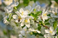 Τα άνθη της Apple στο μήλο διακλαδίζονται με τα πράσινες φύλλα και τη μέλισσα μελιού στο λουλούδι Στοκ Εικόνες