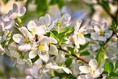 Τα άνθη της Apple στο μήλο διακλαδίζονται με τα πράσινες φύλλα και τη μέλισσα μελιού στο λουλούδι Στοκ εικόνα με δικαίωμα ελεύθερης χρήσης