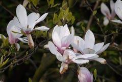 Τα άνθη Magnolia αρχίζουν ήδη να μαραίνονται στοκ φωτογραφία