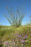 Τα άνθη Ocotillo στην έρημο άνοιξης στο φαράγγι κογιότ, κρατικό πάρκο ερήμων anza-Borrego, κοντά σε Anza Borrego αναπηδούν, ασβέσ Στοκ Εικόνα