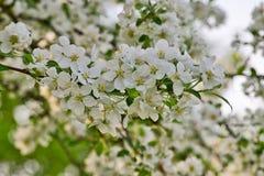 Τα άσπρα άνθη μήλων στους κλάδους μήλων με πράσινο βγάζουν φύλλα την άνοιξη το χρόνο Στοκ εικόνες με δικαίωμα ελεύθερης χρήσης