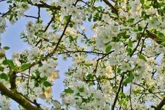 Τα άσπρα άνθη μήλων στους κλάδους μήλων με πράσινο βγάζουν φύλλα την άνοιξη το χρόνο Στοκ Εικόνες