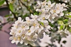 Τα άσπρα άνθη μήλων στους κλάδους μήλων με πράσινο βγάζουν φύλλα την άνοιξη το χρόνο Στοκ φωτογραφία με δικαίωμα ελεύθερης χρήσης
