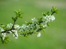 Τα άσπρα άνθη στο μπλε στοκ εικόνες με δικαίωμα ελεύθερης χρήσης