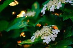 Τα άσπρα άνθη του viburnum Στοκ Φωτογραφία