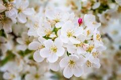 Τα άσπρα δέντρα της Apple καβουριών ανθίζουν την άνοιξη Στοκ Φωτογραφίες