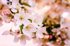 Τα άσπρα δέντρα της Apple καβουριών ανθίζουν την άνοιξη Στοκ Εικόνες
