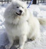 Τα άσπρα γεροδεμένα και άλλα σκυλιά στο άσπρο χιόνι κλέβουν την επίδειξη Στοκ εικόνες με δικαίωμα ελεύθερης χρήσης