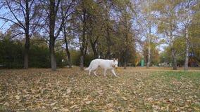 Τα άσπρα ελβετικά τρεξίματα σκυλιών ποιμένων μετά από ένα παιχνίδι, το αρπάζουν και το φέρνουν στον ιδιοκτήτη του φιλμ μικρού μήκους
