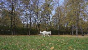 Τα άσπρα ελβετικά τρεξίματα σκυλιών ποιμένων μετά από τη ράβδο, το αρπάζουν και κτυπούν τον ιδιοκτήτη απόθεμα βίντεο