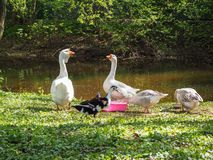 Τα άσπρα και καφετιά gooses τρώνε από τα κύπελλα στην όχθη ποταμού στο πάρκο στοκ εικόνα με δικαίωμα ελεύθερης χρήσης