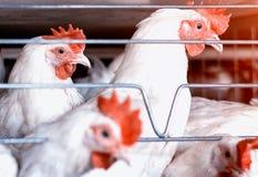 Τα άσπρα κοτόπουλα κάθονται πίσω από τα κάγκελα σε ένα φάρμα πουλερικών, η παραγωγή των κοτόπουλων σχαρών, ορνιθοτροφείο, κινηματ στοκ εικόνα με δικαίωμα ελεύθερης χρήσης