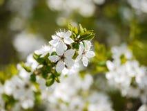Τα άσπρα λουλούδια είναι ανθίζοντας την άνοιξη, λουλούδια υποβάθρου στοκ φωτογραφία με δικαίωμα ελεύθερης χρήσης