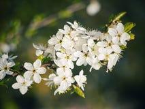 Τα άσπρα λουλούδια είναι ανθίζοντας την άνοιξη, λουλούδια υποβάθρου στοκ εικόνα