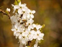 Τα άσπρα λουλούδια είναι ανθίζοντας την άνοιξη, λουλούδια υποβάθρου στοκ εικόνες