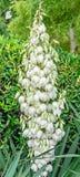 Τα άσπρα λουλούδια θάμνων filamentosa Yucca, άλλα ονόματα περιλαμβάνουν τη βελόνα Adams Στοκ Εικόνες