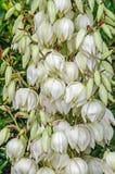 Τα άσπρα λουλούδια θάμνων filamentosa Yucca, άλλα ονόματα περιλαμβάνουν τη βελόνα Adams Στοκ φωτογραφία με δικαίωμα ελεύθερης χρήσης