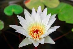 Τα άσπρα λουλούδια λωτού είναι ανθίζοντας στοκ φωτογραφία με δικαίωμα ελεύθερης χρήσης