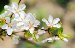 Τα άσπρα λουλούδια μήλων, εκλεκτική εστίαση, κλείνουν επάνω στοκ φωτογραφία με δικαίωμα ελεύθερης χρήσης
