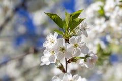 Τα άσπρα λουλούδια του κερασιού ανθίζουν μια ημέρα άνοιξη πέρα από το υπόβαθρο μπλε ουρανού Ανθίζοντας το οπωρωφόρο δέντρο στην Ο στοκ εικόνα