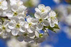Τα άσπρα λουλούδια του κερασιού ανθίζουν μια ημέρα άνοιξη πέρα από το υπόβαθρο μπλε ουρανού Ανθίζοντας το οπωρωφόρο δέντρο στην Ο στοκ φωτογραφίες