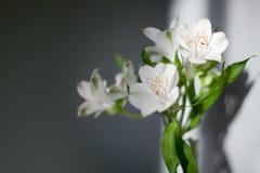 Τα άσπρα λουλούδια alstroemeria με τα πράσινα φύλλα στο γκρίζο υπόβαθρο με το φως και τη σκιά ήλιων κλείνουν επάνω στοκ εικόνα με δικαίωμα ελεύθερης χρήσης