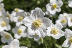 Τα άσπρα λουλούδια anemones κλείνουν επάνω Στοκ φωτογραφία με δικαίωμα ελεύθερης χρήσης
