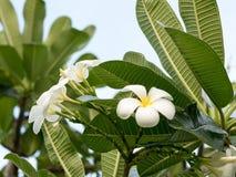 Τα άσπρα λουλούδια plumeria στο δέντρο plumeria, frangipani ανθίζουν στο πάρκο Στοκ Εικόνες