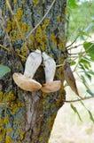 Τα άσπρα μανιτάρια είναι ξηρά σε έναν κλάδο σε ένα δέντρο Στοκ φωτογραφία με δικαίωμα ελεύθερης χρήσης