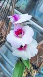 Τα άσπρα λουλούδια ορχιδεών Στοκ Φωτογραφίες