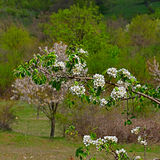 Τα άσπρα λουλούδια του άγριου δέντρου μηλιάς στα παλαιά βουνά σε Bul Στοκ Εικόνα