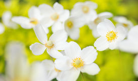 Τα άσπρα λουλούδια των sylvestris anemone snowdrop, κλείνουν επάνω, αναδρομικός που βάφεται Στοκ Εικόνες