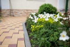 Τα άσπρα λουλούδια των sylvestris anemone snowdrop στον εγχώριο κήπο, κλείνουν επάνω Στοκ Εικόνες