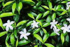 Τα άσπρα λουλούδια φύλλων στοκ φωτογραφία με δικαίωμα ελεύθερης χρήσης