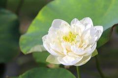Τα άσπρα λουλούδια λωτού Στοκ Εικόνες