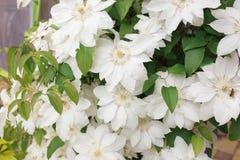 Τα άσπρα λουλούδια Clematis, κλείνουν επάνω τη φωτογραφία Στοκ φωτογραφία με δικαίωμα ελεύθερης χρήσης