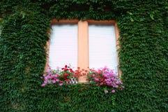 Τα άσπρα παραθυρόφυλλα παραθύρων με το κόκκινο πελαργόνιο ανθίζουν και αυξημένος με έναν πράσινο κισσό στοκ εικόνες