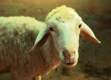 Τα άσπρα πρόβατα κλείνουν επάνω το πορτρέτο στο καλοκαίρι πράσινο Στοκ εικόνα με δικαίωμα ελεύθερης χρήσης