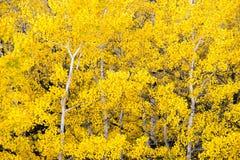 Τα άσπρα της Aspen χρώματα πτώσης δέντρων δασικά αφήνουν το μεταβαλλόμενο φθινόπωρο στοκ εικόνες με δικαίωμα ελεύθερης χρήσης