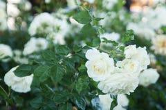 Τα άσπρα τριαντάφυλλα στοκ φωτογραφίες