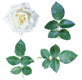 Τα άσπρα τριαντάφυλλα απομονώνουν Στοκ φωτογραφία με δικαίωμα ελεύθερης χρήσης