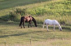 τα άλογα βόσκουν δύο Στοκ Φωτογραφίες