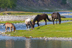 Τα άλογα είναι βοημένα στο riverbank Στοκ Εικόνες