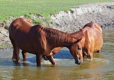 Τα άλογα κάστανων πίνουν το νερό Στοκ Φωτογραφίες