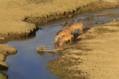 Τα άλογα πίνουν το νερό στον ποταμό Στοκ Εικόνες