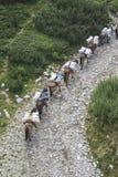 Τα άλογα που φορτώνονται με τις αποσκευές αναρριχούνται στο βουνό Στοκ Εικόνες